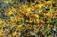 Dendrobium discolor