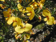 Dillwynia glaberrima