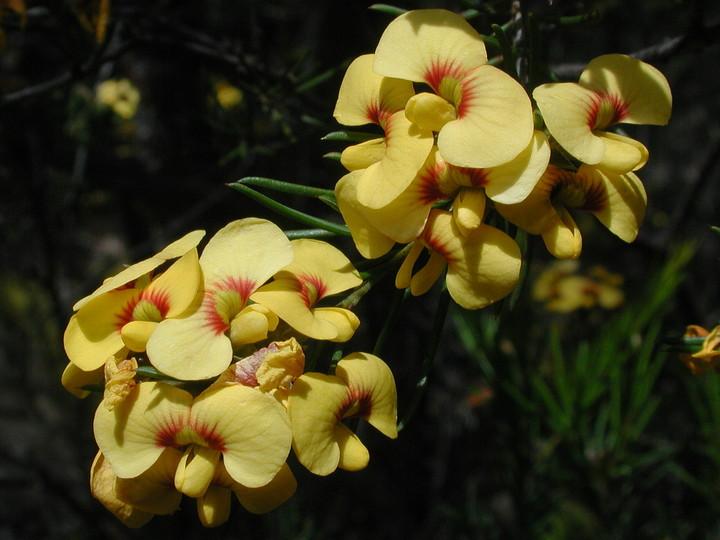 Dillwynia glaberrima