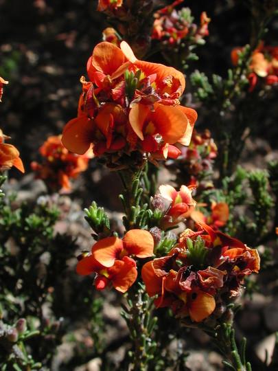 Dillwynia hispida