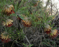Diplolaena angustifolia
