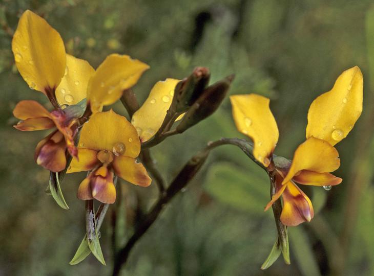 Diuris longifolia