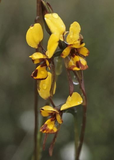 Diuris laxiflora