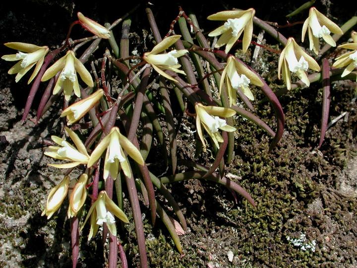 Dockrillia striolata