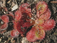 Drosera whittakeri