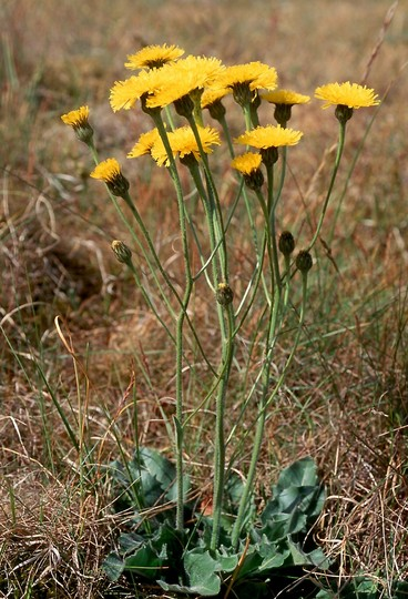 Hypochaeris maculata