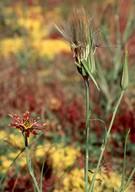 Tragopogon crocifolius