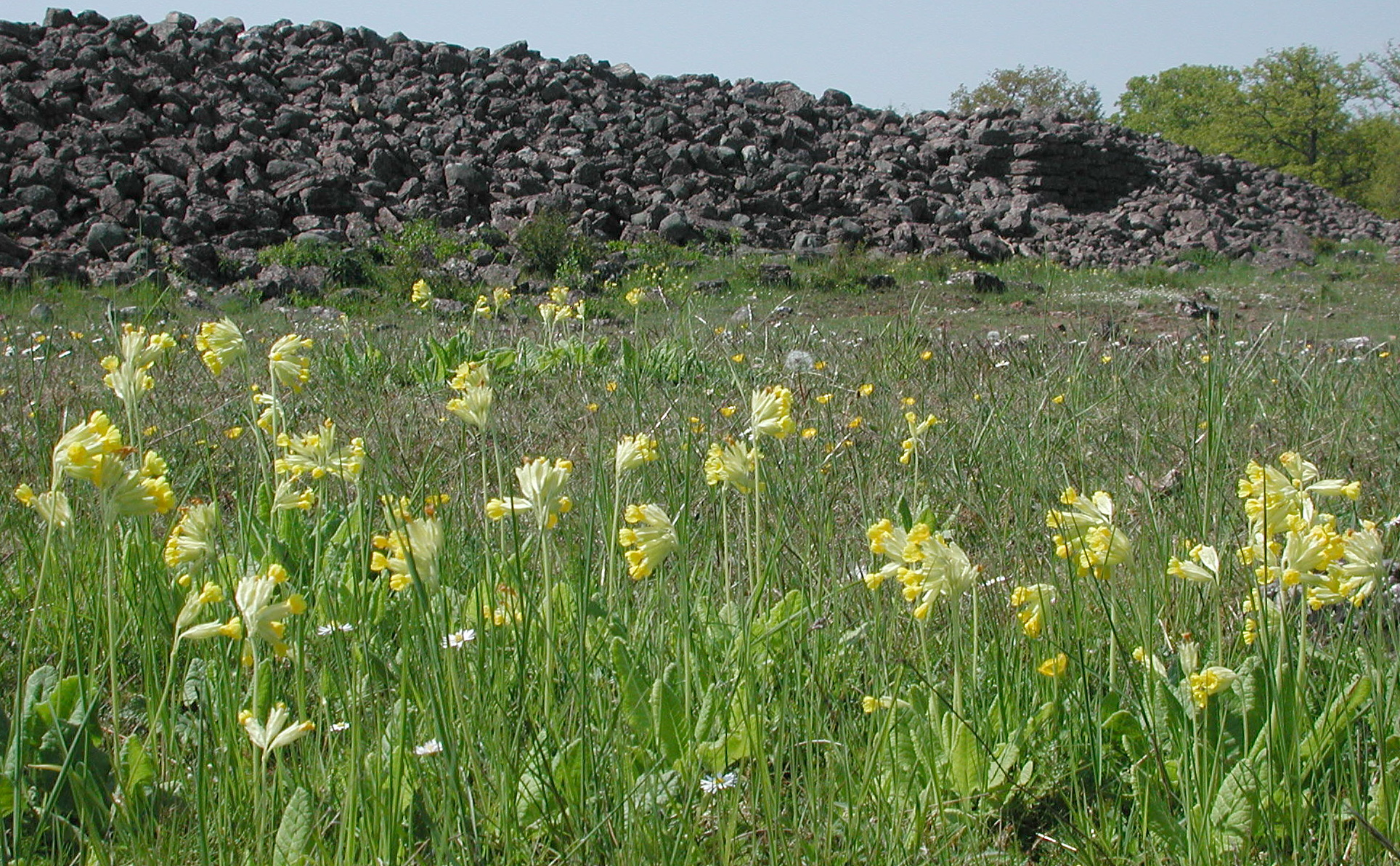 Primula veris