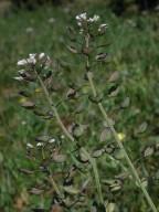 Thlaspi perfoliatum