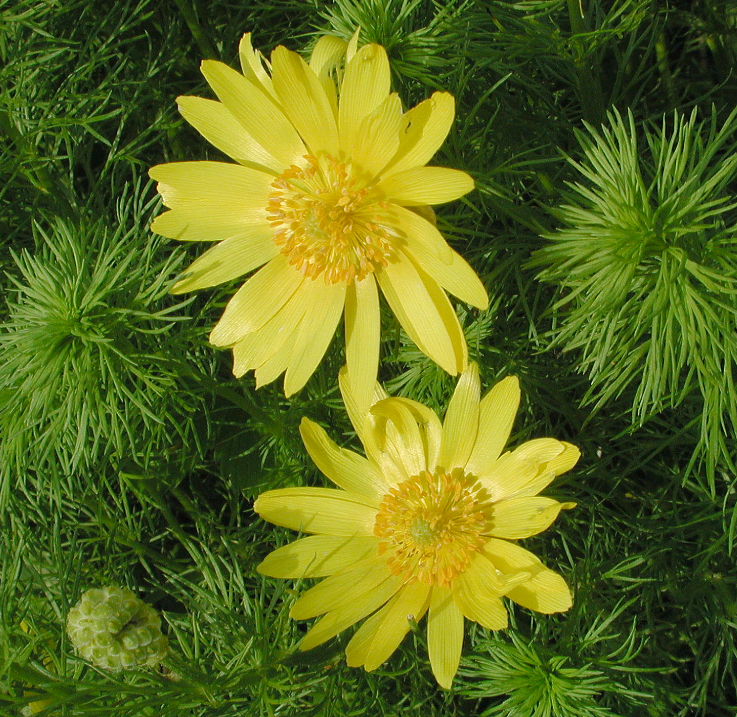 Adonis vernalis