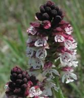 Orchis ustulata