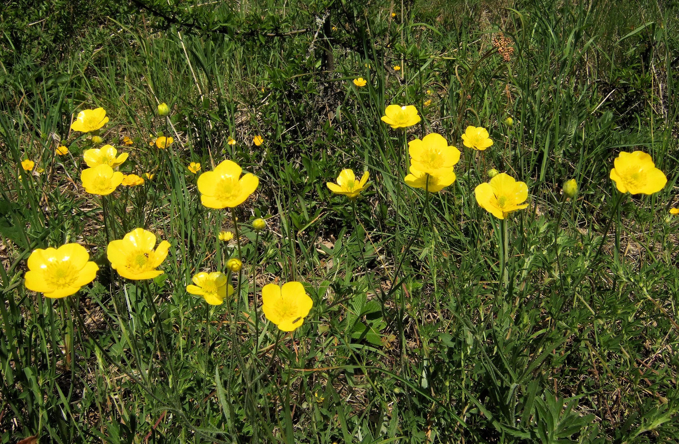 Ranunculus illyricus