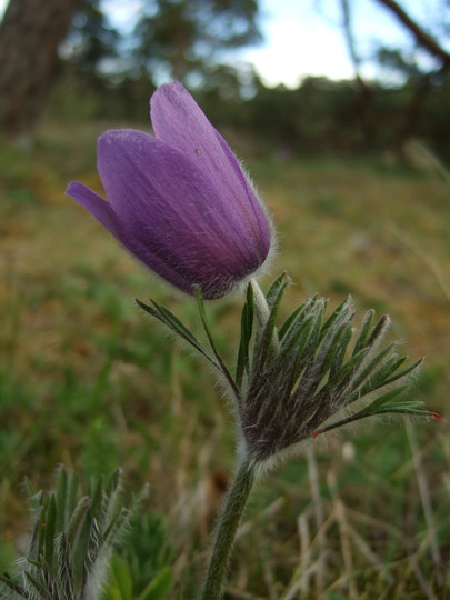 Pulsatilla vulgaris ssp. gotlandica