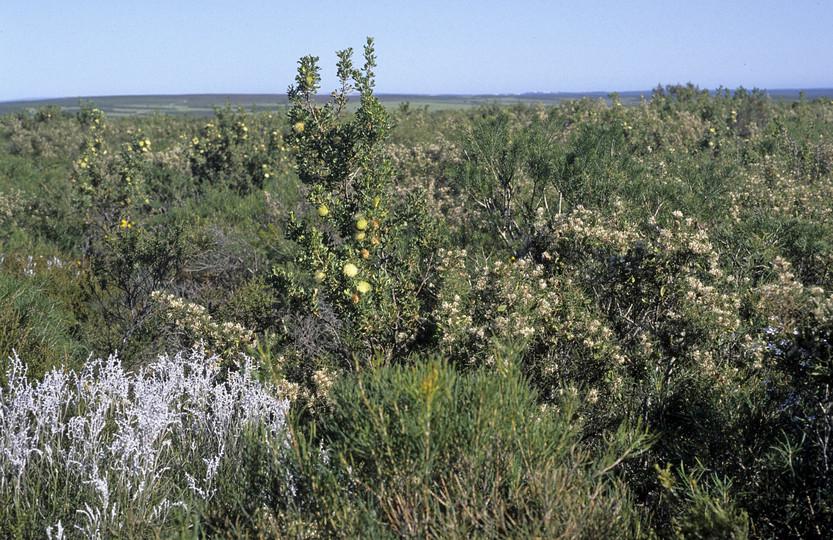 Dryandra sessilis