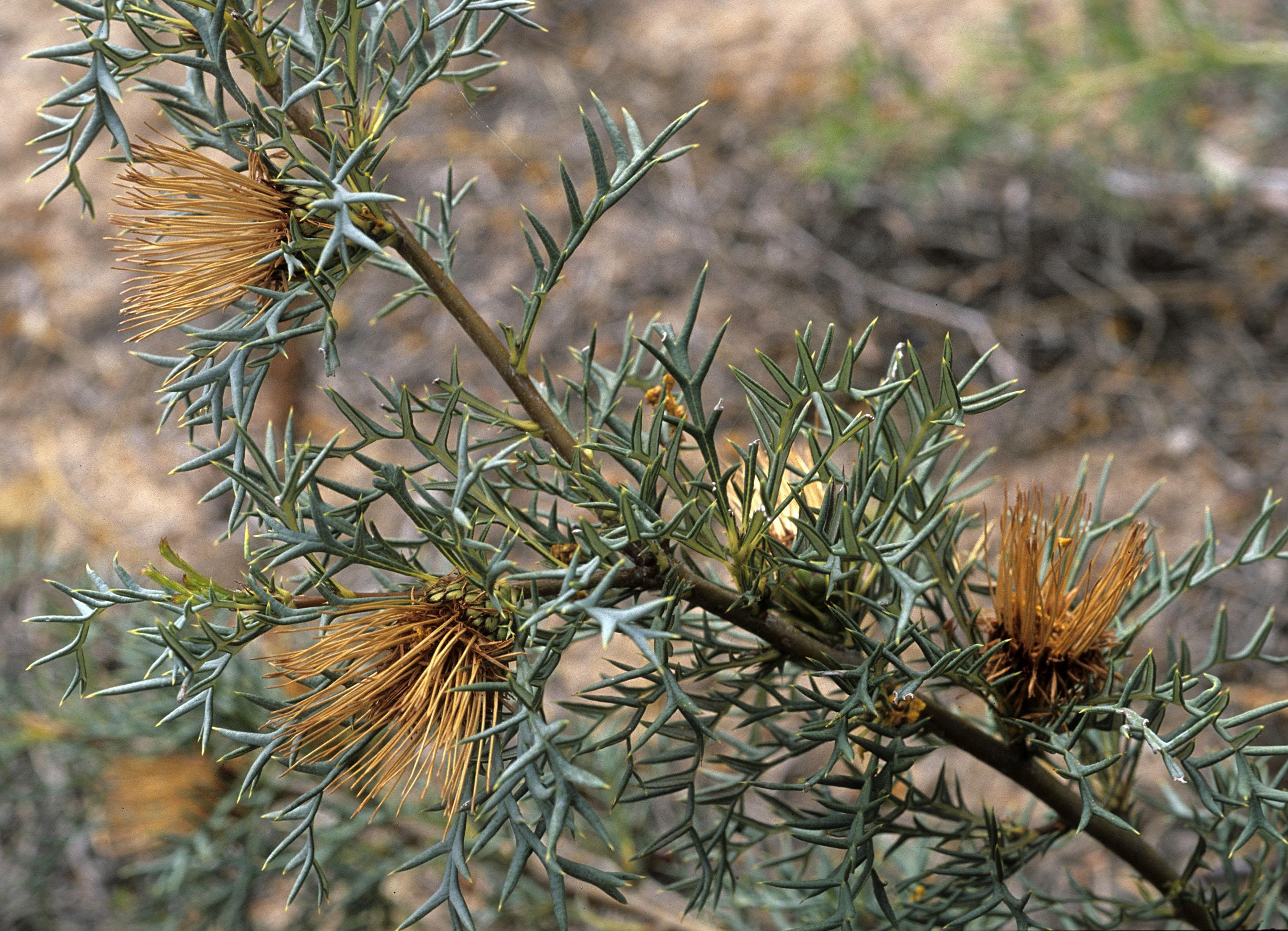 Dryandra fraseri