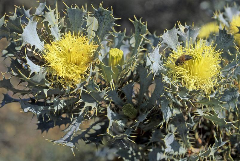 Dryandra glauca