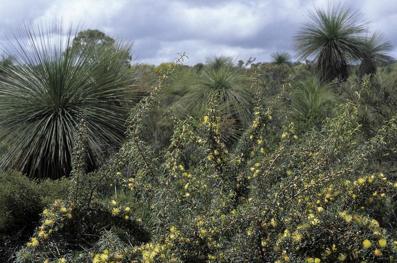 Dryandra carduacea