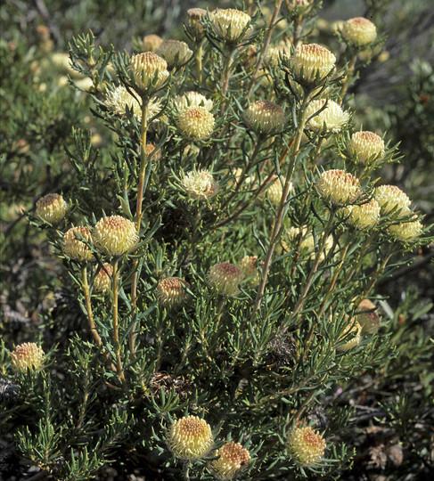 Dryandra carlinoides