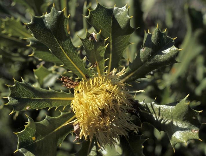 Dryandra quercifolia