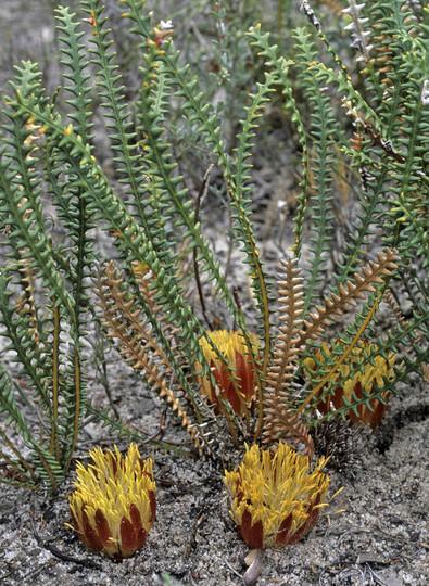 Dryandra obtusa