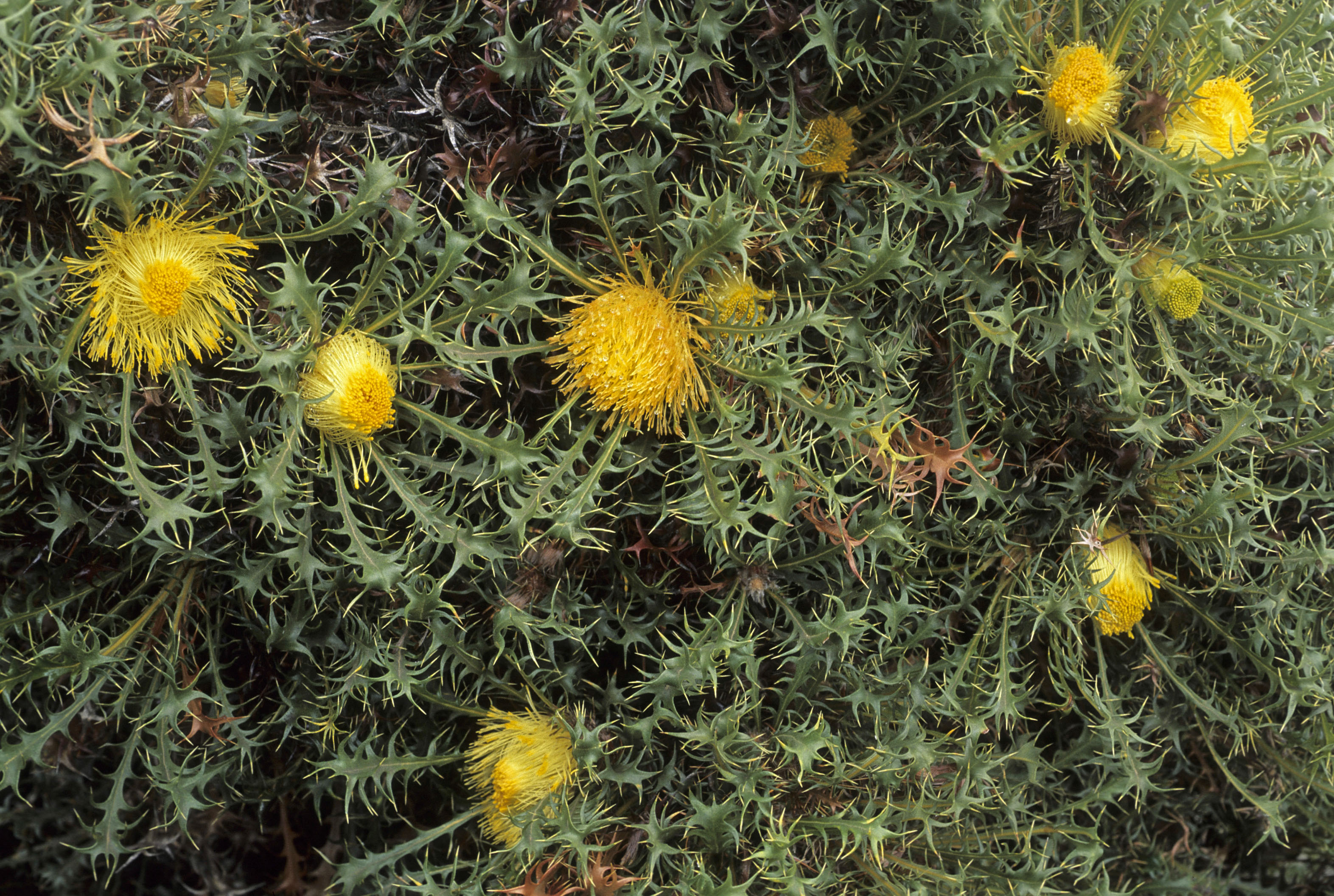 Dryandra falcata