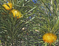 Dryandra formosa
