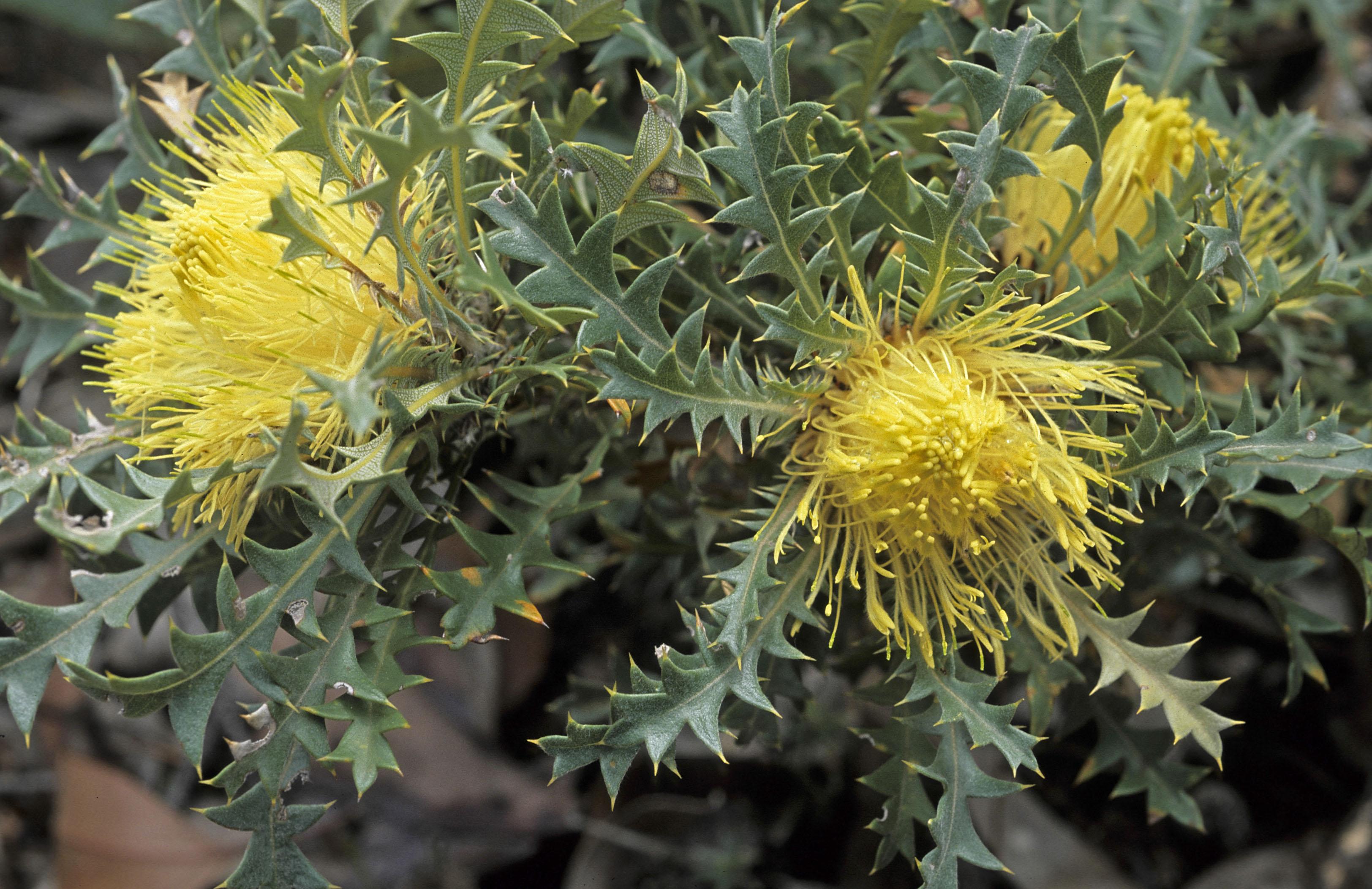Dryandra armata