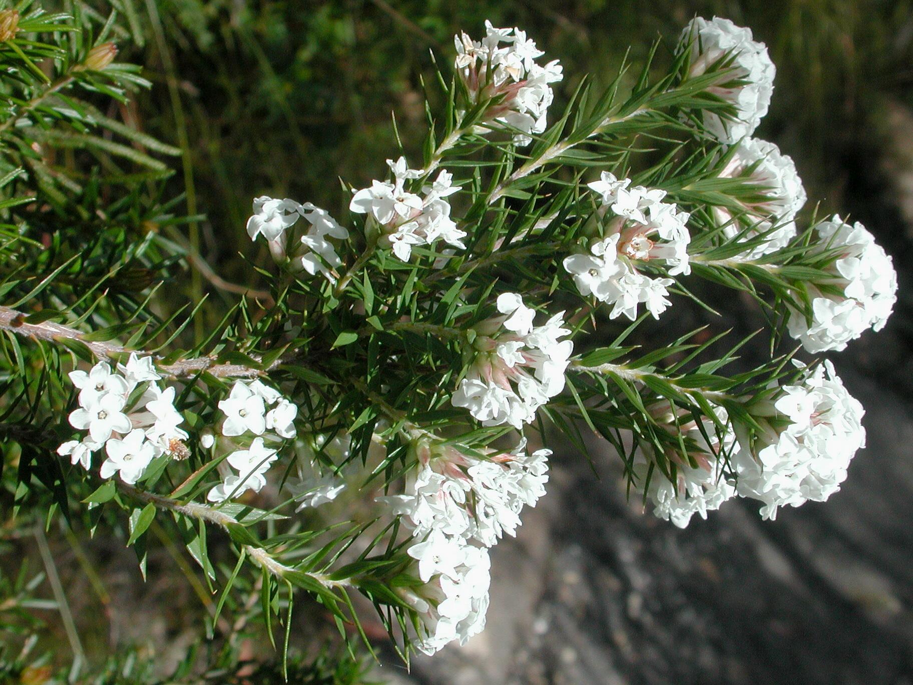Epacris breviflora