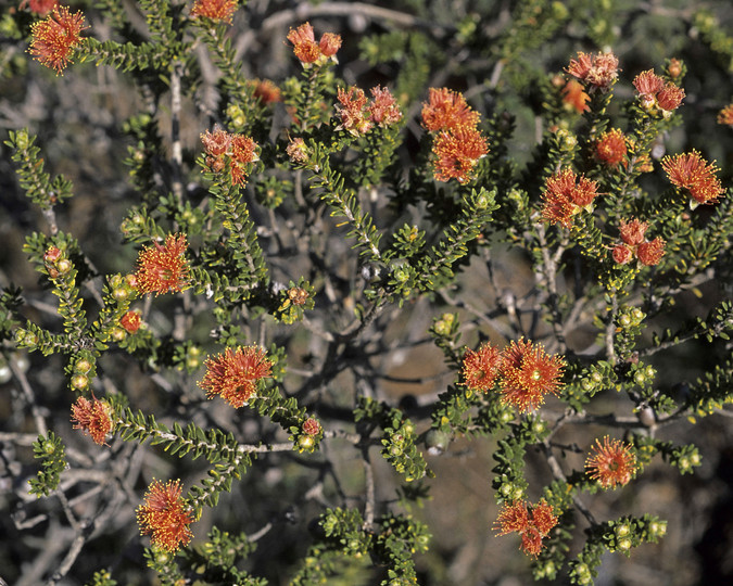 Eremaea brevifolia