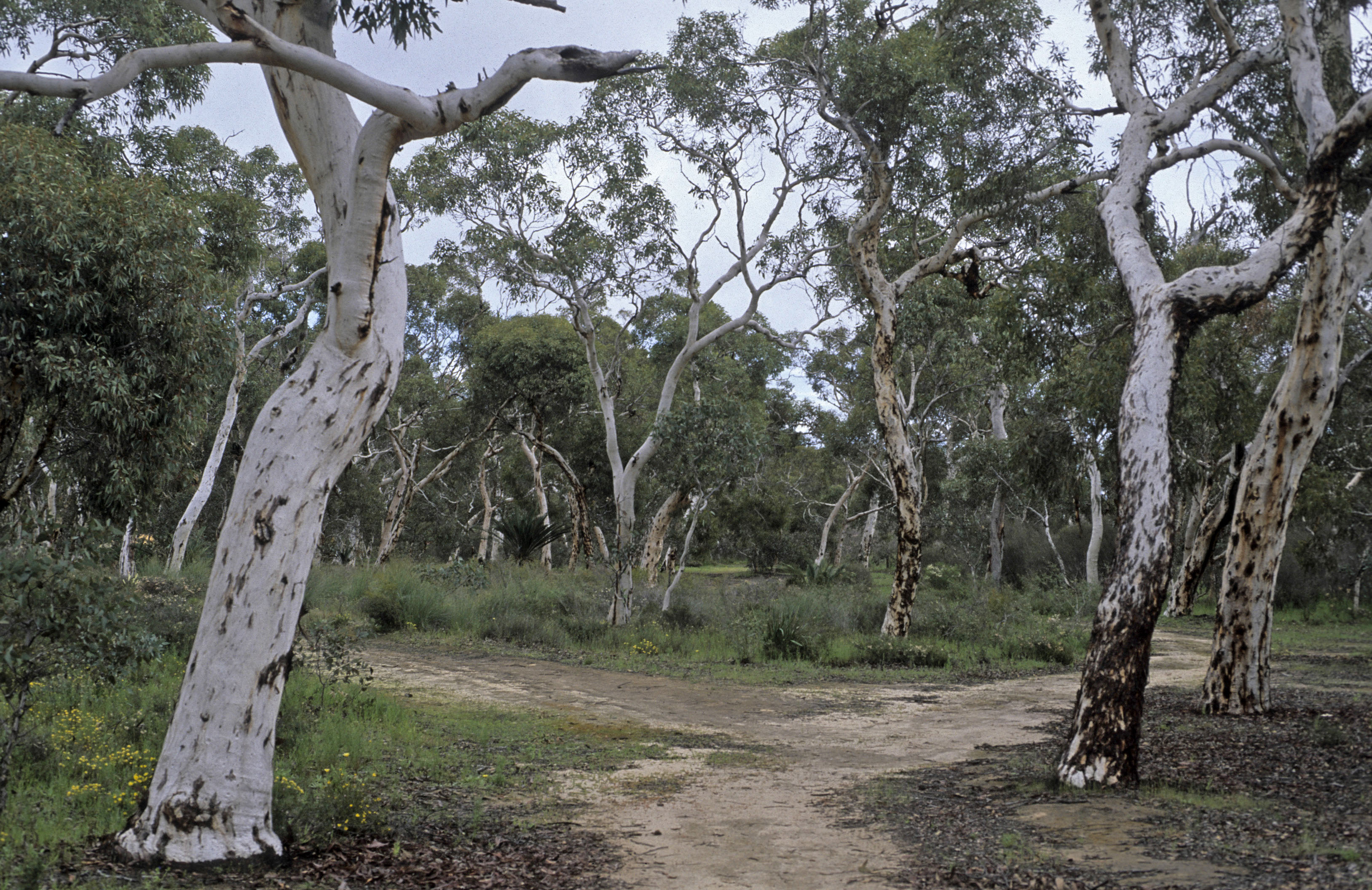 Eucalyptus wandoo