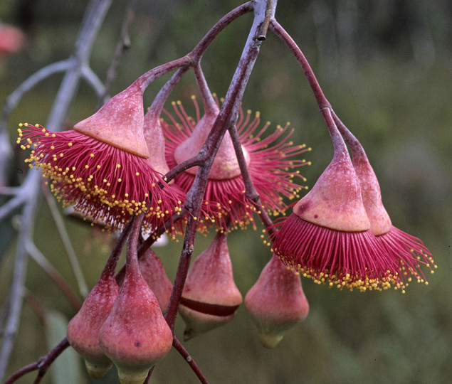 Eucalyptus caesia