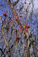 Eucalyptus leucoxylon