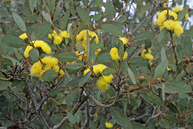 Eucalyptus preissiana