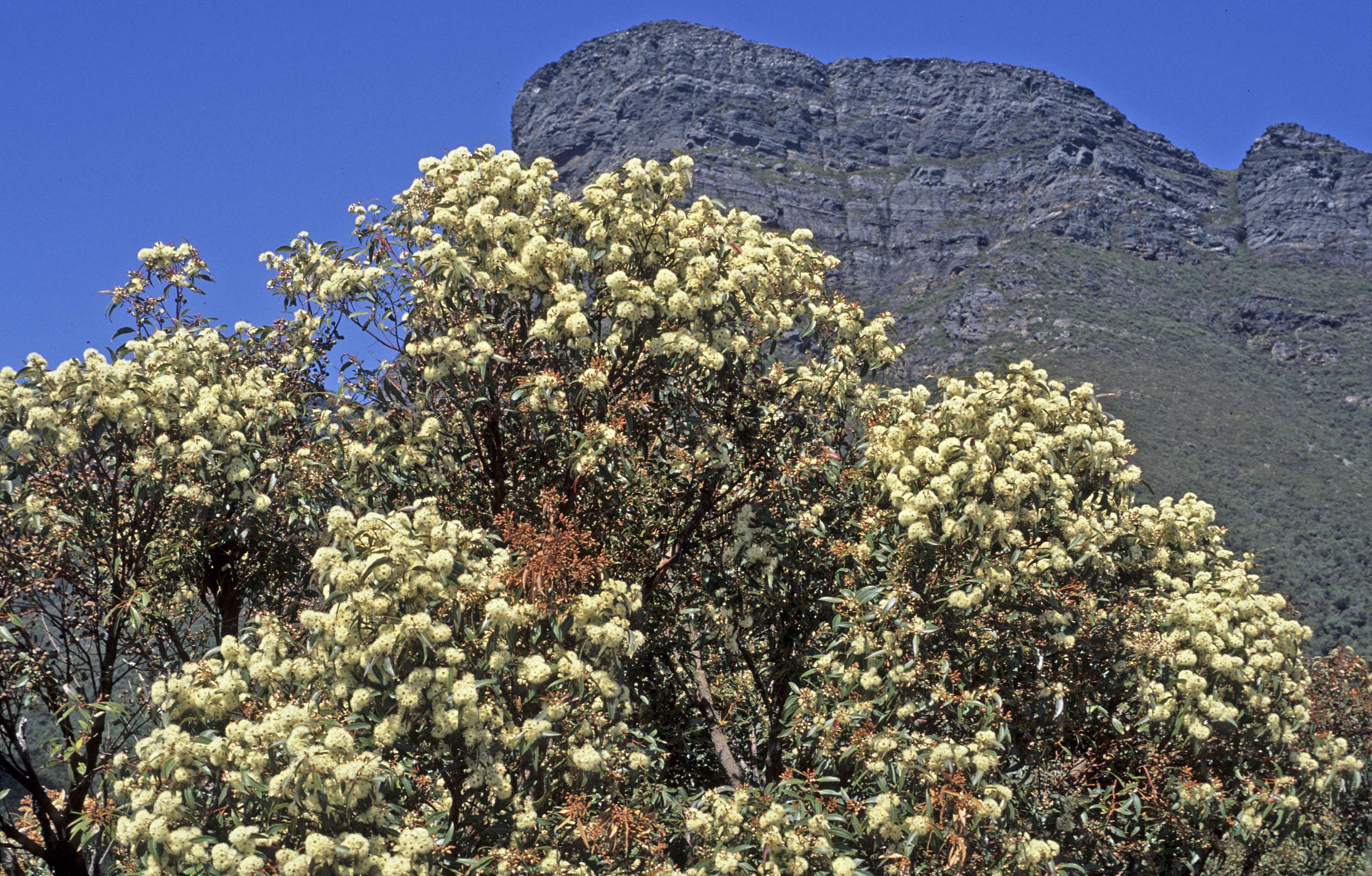 Eucalyptus sp.1