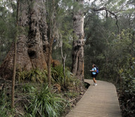 Eucalyptus jacksonii