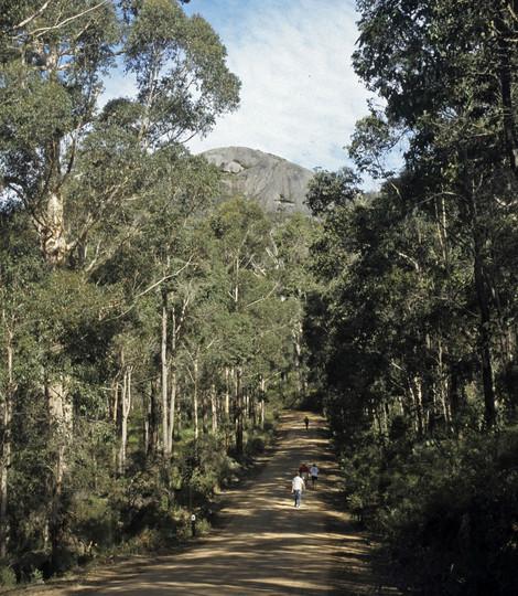 Eucalyptus diversicolor