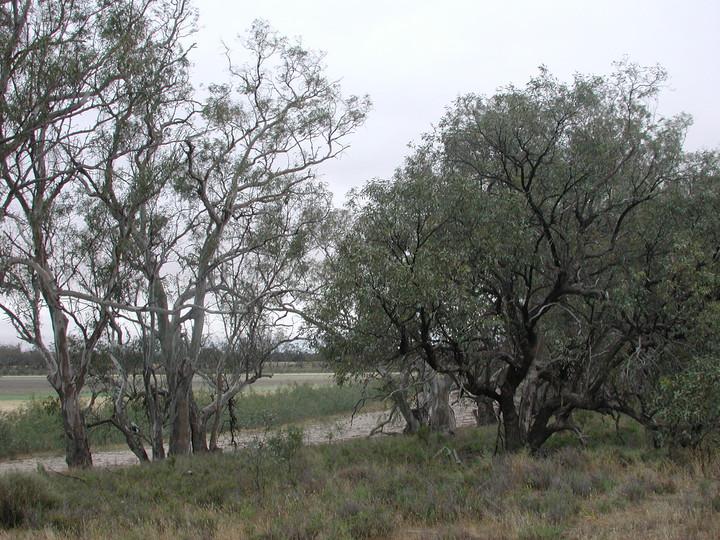 Eucalyptus largiflorens
