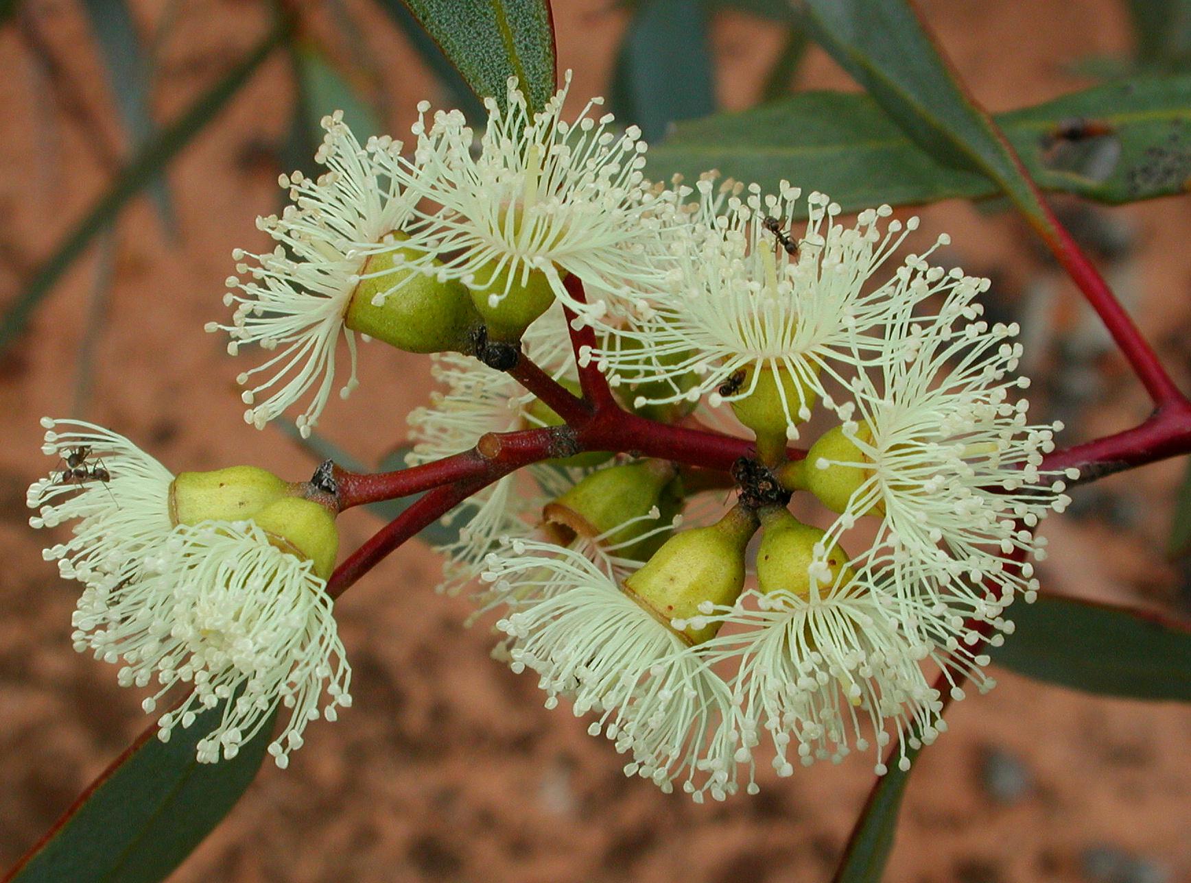 Eucalyptus sp.5