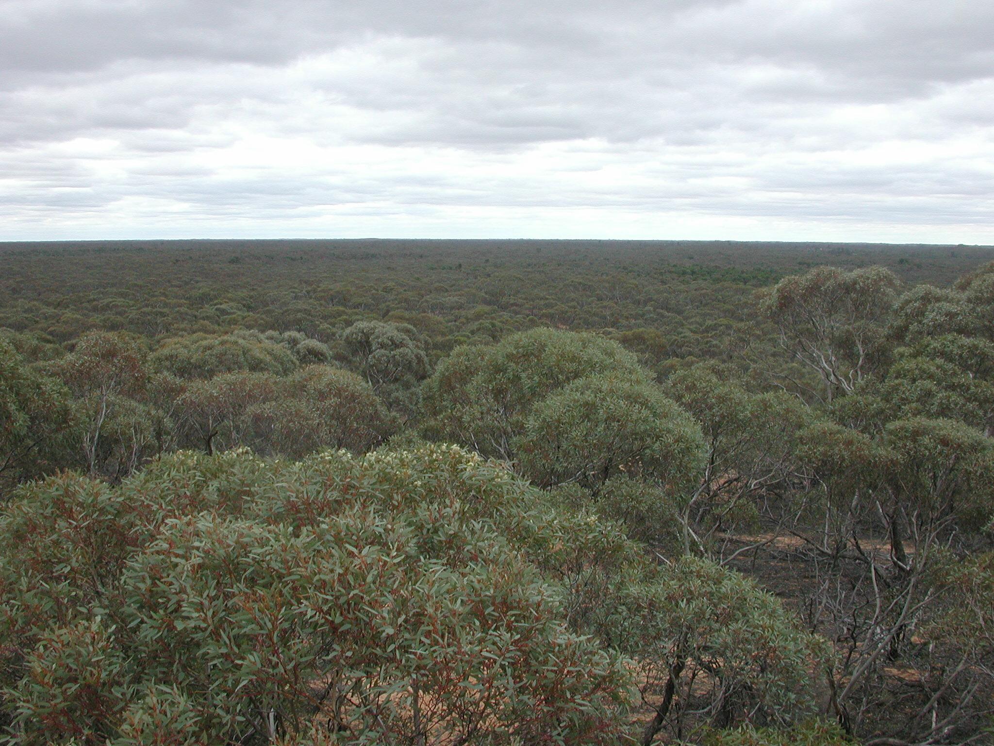 Eucalyptus sp.3