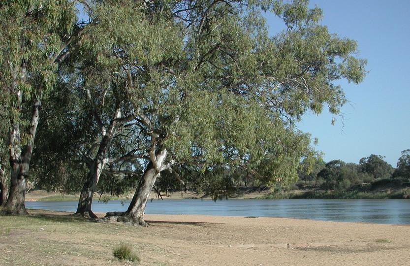 Eucalyptus camalduensis