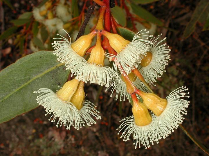 Eucalyptus incrassata