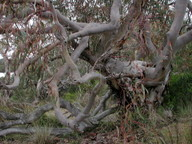 Eucalyptus fasciculosa