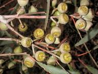 Eucalyptus diversifolia