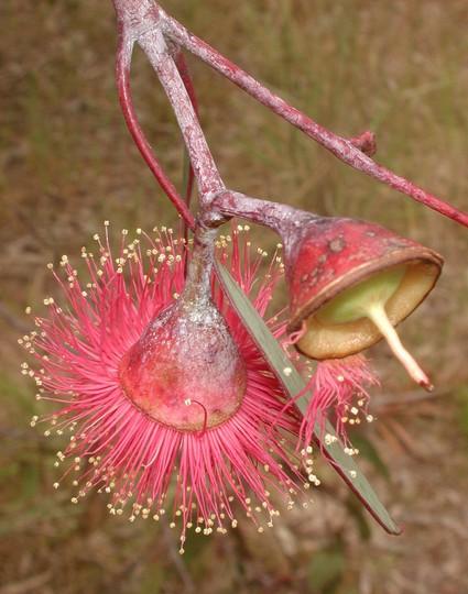 Eucalyptus caesia ssp. magna