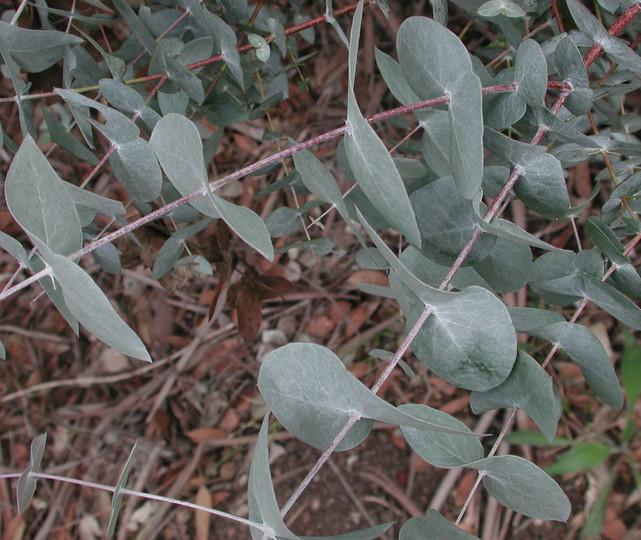 Eucalyptus risdonii