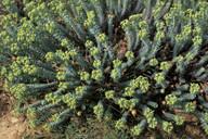 Euphorbia paralias