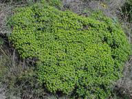 Euphorbia acanthothamnus