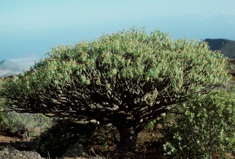 Euphorbia regis-jubae