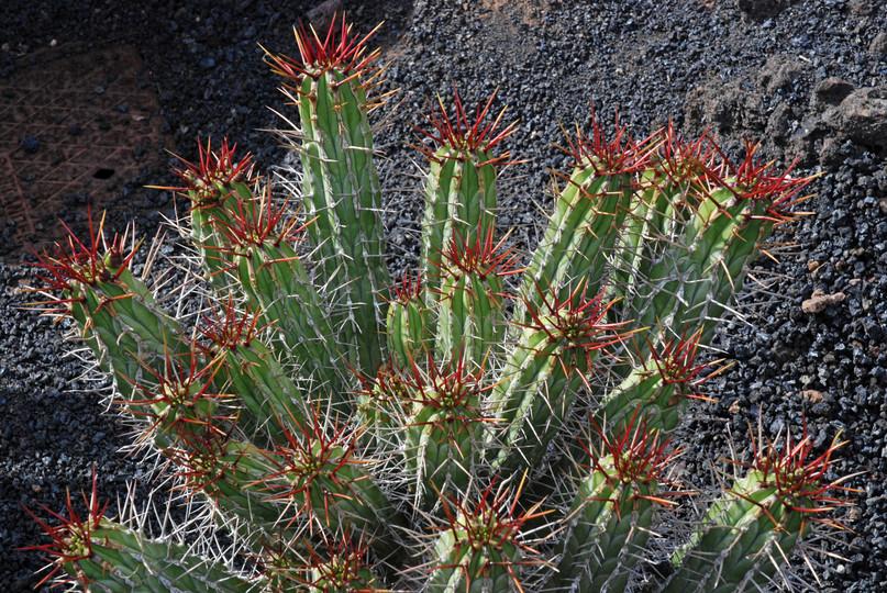 Euphorbia handiensis