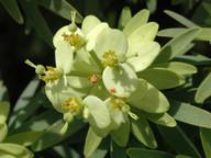 Euphorbia obtusifolia